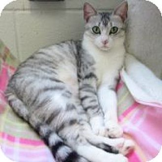 American Shorthair Cat for adoption in San Leon, Texas - Layla