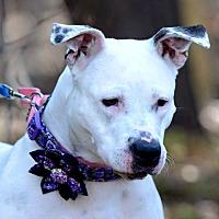 Dalmatian/American Pit Bull Terrier Mix Dog for adoption in Westminster, Maryland - Betty White