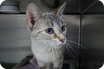 Siamese Cat for adoption in Elyria, Ohio - Doris