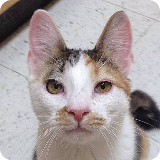 Domestic Shorthair Cat for adoption in Weatherford, Texas - Katie and Emily