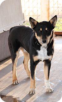 Shepherd (Unknown Type) Mix Dog for adoption in Bowie, Texas - Blake