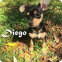 Adopt A Pet :: Diego - Gainesville, FL