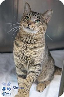 Domestic Shorthair Cat for adoption in Merrifield, Virginia - Simba