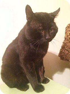 Domestic Shorthair Cat for adoption in Wichita, Kansas - Rocky Balboa