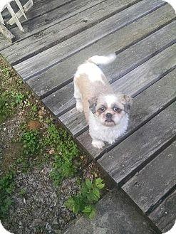 Shih Tzu Mix Dog for adoption in Saddle Brook, New Jersey - MAX