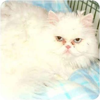 Persian Cat for adoption in El Segundo, California - Skaliwag