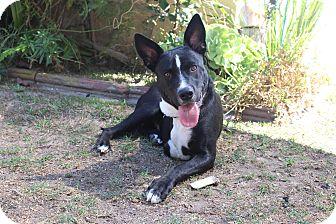 German Shepherd Dog Mix Dog for adoption in Los Angeles, California - Keaton