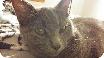 Domestic Shorthair Kitten for adoption in Cincinnati, Ohio - Shadow
