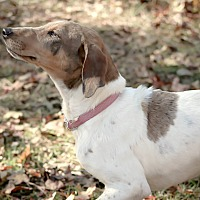 Redtick Coonhound Mix Dog for adoption in Vidor, Texas - Darci