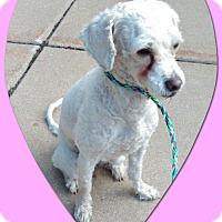 Bichon Frise Dog for adoption in Tulsa, Oklahoma - Pending!! Trixie - IL