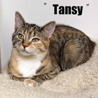 Adopt A Pet :: Tansy - Crossfield, AB
