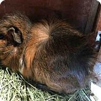 Adopt A Pet :: *Urgent* Sylvester - Fullerton, CA