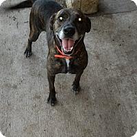 Plott Hound/German Shepherd Dog Mix Dog for adoption in Lavon, Texas - Panda