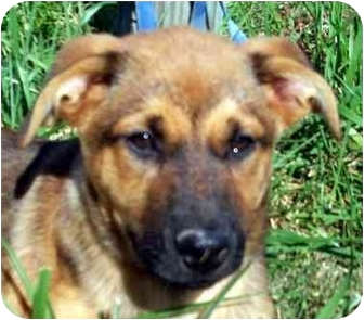 German Shepherd Dog Mix Puppy for adoption in Chapel Hill, North Carolina - Lassiter