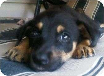 Coonhound/Beagle Mix Puppy for adoption in P, Maine - Peanut