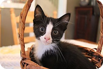 Domestic Shorthair Kitten for adoption in Carlisle, Pennsylvania - Haymitch
