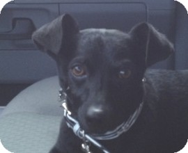 Chihuahua/Jack Russell Terrier Mix Dog for adoption in Pasadena, California - Buddy
