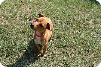 Dachshund/Chihuahua Mix Dog for adoption in Bedford, Virginia - Sonny