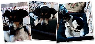 Rat Terrier Mix Dog for adoption in East Hartford, Connecticut - Tiny ADOPTION PENDING