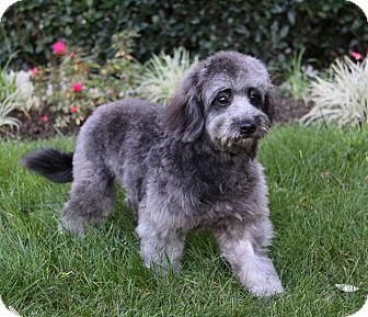 Poodle (Miniature)/Schnauzer (Miniature) Mix Puppy for adoption in Newport Beach, California - PRETZEL
