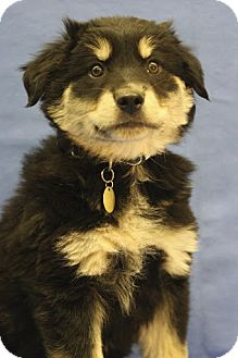Shepherd (Unknown Type)/Australian Shepherd Mix Puppy for adoption in Broomfield, Colorado - Turbo