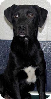 Labrador Retriever/Hound (Unknown Type) Mix Puppy for adoption in Sterling, Massachusetts - Buddy