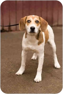 Beagle Mix Puppy for adoption in Portland, Oregon - Henry