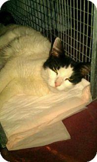 Domestic Mediumhair Cat for adoption in Garwood, New Jersey - Sheeba