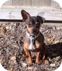 Chihuahua Mix Dog for adoption in Houston, Texas - LILY