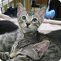 Adopt A Pet :: grey tiger kittens! - Vero Beach, FL