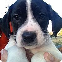 Adopt A Pet :: NOAH - Ooltewah, TN