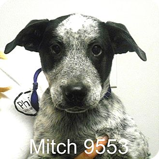 Australian Cattle Dog Mix Puppy for adoption in Greencastle, North Carolina - Mitch