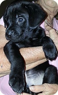 Labrador Retriever Mix Puppy for adoption in Salem, Massachusetts - Simon