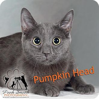 Domestic Shorthair Cat for adoption in Broadway, New Jersey - Pumpkinhead