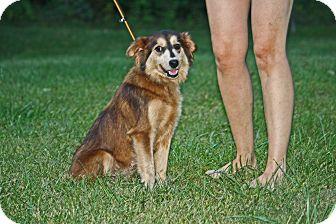 Australian Shepherd/Pomeranian Mix Dog for adoption in West Milford, New Jersey - BALI-pending
