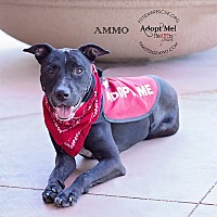 Labrador Retriever/Cattle Dog Mix Dog for adoption in Gilbert, Arizona - AMMO