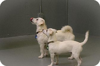 Terrier (Unknown Type, Medium)/Chihuahua Mix Puppy for adoption in Eugene, Oregon - Poppy and Junior