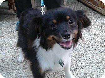 Australian Shepherd/Pomeranian Mix Dog for adoption in Thousand Oaks, California - Koa