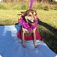 German Shepherd Dog/Husky Mix Dog for adoption in Richmond, Virginia - Kate