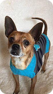 Chihuahua Dog for adoption in Charlotte, North Carolina - Pee Wee