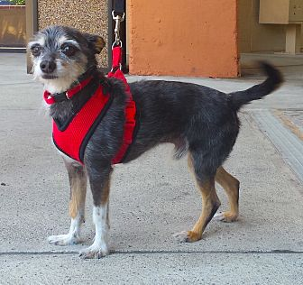 Terrier (Unknown Type, Small) Mix Dog for adoption in Simi Valley, California - Rascal