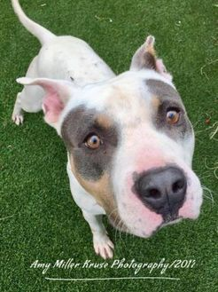 Mixed Breed (Large) Mix Dog for adoption in Land O'Lakes, Florida - Bully