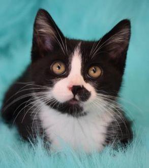 Domestic Shorthair/Domestic Shorthair Mix Cat for adoption in Eureka, California - MERLIN