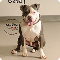 Pit Bull Terrier/Bulldog Mix Dog for adoption in Topeka, Kansas - Gordy