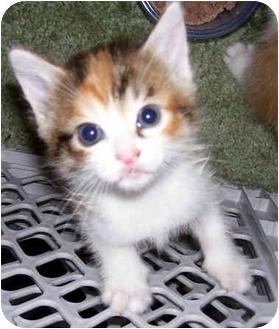 Domestic Shorthair Kitten for adoption in Troy, Michigan - Malibu