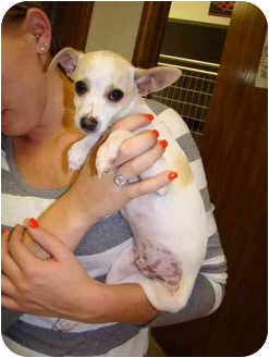 Chihuahua/Rat Terrier Mix Puppy for adoption in Vandalia, Illinois - Cody