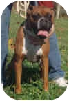 Boxer Dog for adoption in North Haven, Connecticut - Emmett