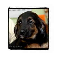 Retriever (Unknown Type)/Shepherd (Unknown Type) Mix Puppy for adoption in Warren, Pennsylvania - Webster