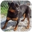 Photo 3 - Rottweiler Mix Dog for adoption in Howes Cave, New York - Taurina - On Hold