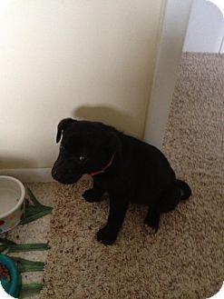 Labrador Retriever Mix Puppy for adoption in Laingsburg, Michigan - Duke